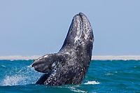 gray whale, Eschrichtius robustus, breaching, San Ignacio Lagoon, Baja California, Mexico, Pacific Ocean