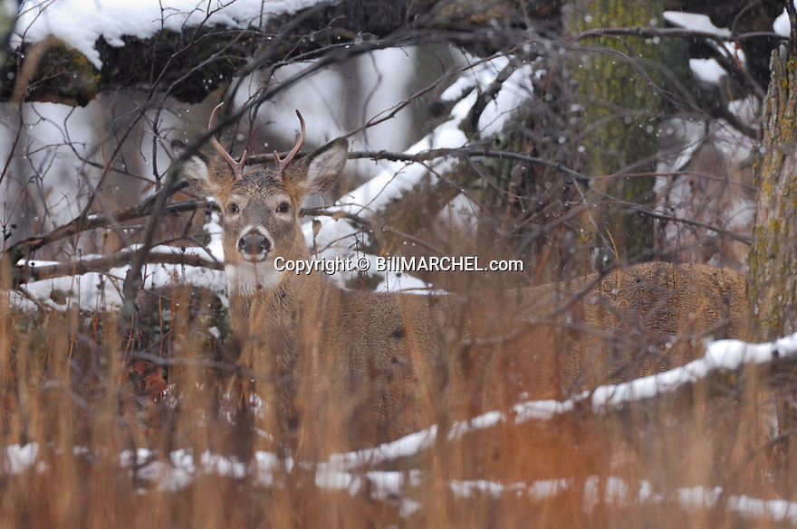 00274-312.12 White-tailed Deer Buck (DIGITAL) with small antlers in next to a downed oak after a recent snow.  Hunting.  H8L1