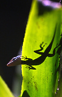 Green anole and shadow on a leaf, Daytona Beach, FL . (Photo by Brian Cleary / www.bcpix.com)