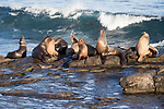 La Jolla, California; several California sea lions basking in early morning sunlight, while resting on the rocky shoreline as waves crash from the Pacific Ocean in the background