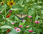 Tiger Swallowtail Butterfly on a Zinnia Flower. Image taken with a Nikon D5 camera and 200-500 mm f/5.6 lens.