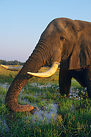 African Elephant bull (Loxodonta africana) feeding in or near Zambezi River, Mana Pools National Park, Zimbabwe.