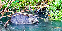2017-08-13_Urban Wildlife_Beaver