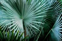 Close up of  Bizmarkia Palm. Hawaii the big island