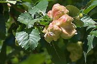 Hanekamgalluis (Colopha compressa) op Iep (Ulmus)