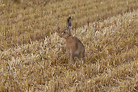 19.7.2021 Brown Hare on a stubble field<br /> ©Tim Scrivener Photographer 07850 303986<br />      ....Covering Agriculture In The UK....