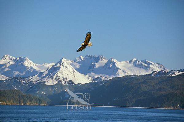 Bald Eagle (Haliaeetus leucocephalus) flying over Kachemak Bay, AK.  April.