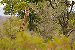 South African Giraffe (Giraffa giraffa giraffa) male chewing, Kruger National Park, South Africa
