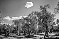 Olive trees of Salento - 2012