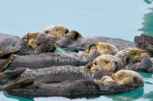 """Alaskan or Northern Sea Otters (Enhydra lutris) resting in a raft.  Sea otters often rest together in groups. This is called """"rafting.""""  Alaska"""