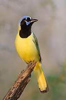 Adult Green Jay (Cyanocorax yncas) of the northern subspecies C. y. glaucescense. Starr County, Texas. March.