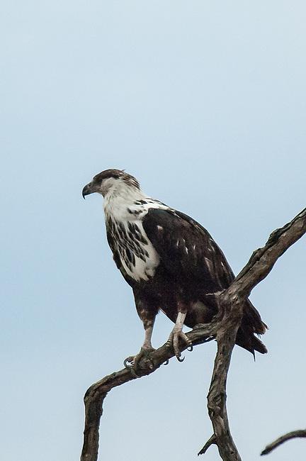 Juvenile Fish Eagle