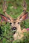 Black-tailed or mule deer, Waterton Lakes National Park, Alberta, Canada