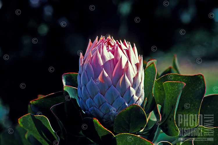 The unique, hardy protea is a lovely ornamental tropical flower grown on the island of Maui.