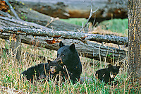 Black bear sow with two very young cubs.  Western U.S., May.