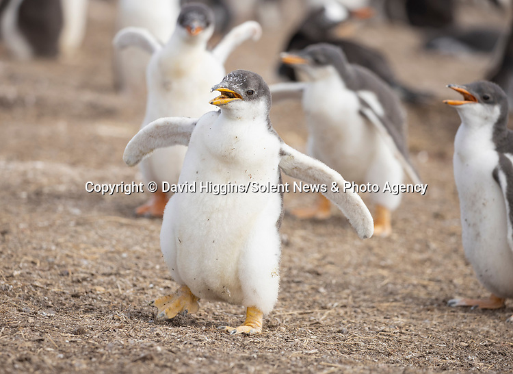 """DANCING LIKE HAPPY FEET - TWERKING PENGUIN!<br /> <br /> Young penguins dance together as they learn to use their limbs.   The chicks - six to seven week old - are building up muscles necessary to survive in the harsh colony.<br /> <br /> This island in the Falklands hosts around 4,000 breeding pairs of gentoo penguins, which are split into 13 sub-colonies.   These pictures were taken by amateur photographer David Higgins at Sea Lion Island and the 51 year old said: """"Sea Lion Island is one of the best wildlife locations I've ever visited.   SEE OUR COPY FOR DETAILS<br /> <br /> Please byline: David Higgins/Solent News<br /> <br /> © David Higgins/Solent News & Photo Agency<br /> UK +44 (0) 2380 458800"""