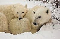 Polar bears find a comfy rest spot, Wapusk National Park, Manitoba, Canada, November 2006, Wapusk National Park, Manitoba, Canada, November 2006