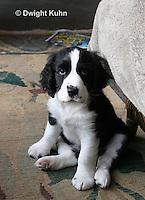 SH25-567z English Springer Spaniel puppy