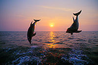 Common Bottlenose Dolphins or Bottle-nosed Dolphins