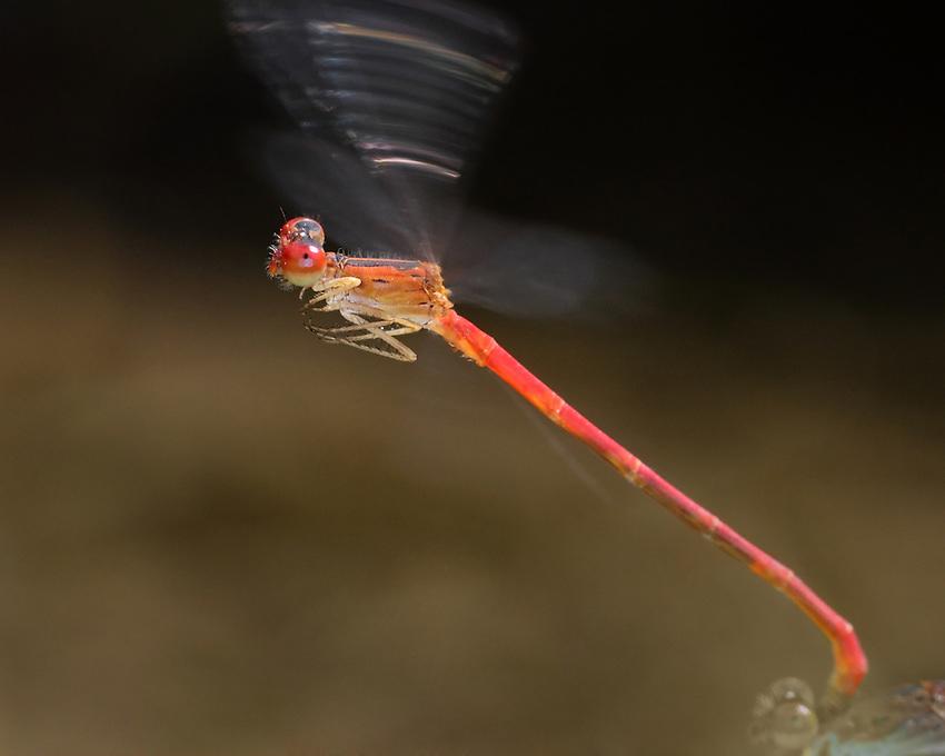 "Desert Firetail Damselfly (Telebasis salva) inflight with female in ""drag""."
