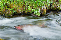 Cutthroat Trout (Oncorhynchus clarkii) in small spawning stream.  June.  Reach maturity at 4 to 5 years.  Western U.S.