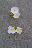 Pale evening-primrose<br /> Sand dunes at the junction of Highways  26 and 243<br />   next to Wanapum Lake<br /> Grant County,  Washington