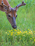 Young white-tailed buck about to eat some birdsfoot trefoil.