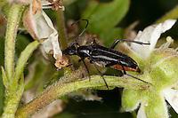 Schwarzer Schmalbock, Schmal-Bock, Stenurella nigra, Strangalia nigra, Leptura nigra, auf Brombeer-Blüten