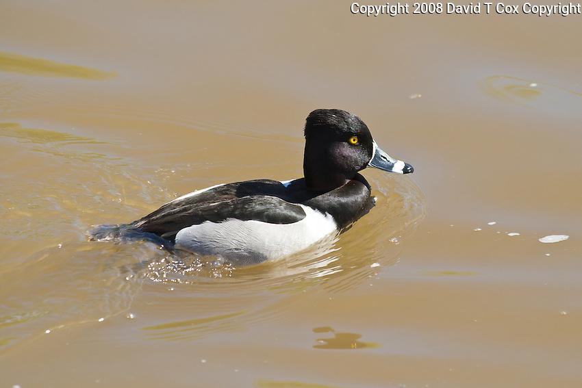 Ring-Necked Duck, Arizona, USA