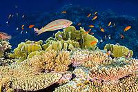 Klunzinger's wrasse (scientific name: Thalassoma klunzingeri) over a coral reef off Hamata coast, Egypt, Red Sea.