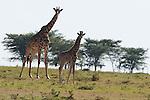 African Giraffes(Giraffa camelopardalis) on the Masai Mara National Reserve safari in southwestern Kenya.
