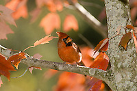 Male Northern Cardinal, Richmondena cardinalis, sitting on branch of fall maple in afternoon ligh