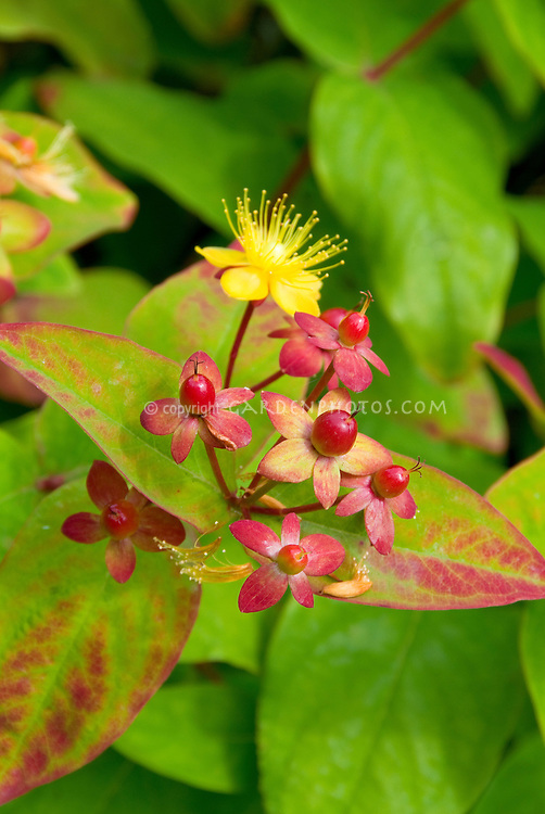 Hypericum Ignite Red with flowers and berries fruit