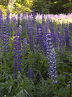 Field of Lupin flowers<br />