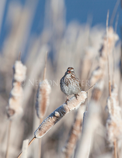 a song sparrow singing from a perch on a cattail stalk in lee metcalf wildlife refuge in montana