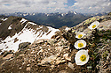 Alpine Crowfoot {Ranunculus alpestris} growing at 3000 metres on mountainside, wide angle view showing habitat, Austrian Alps. June.