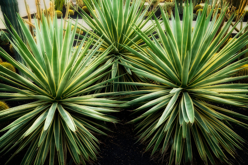 Agave plants. Sunnylands gardens. Palm Springs, California