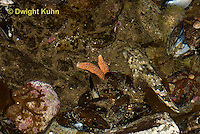 TP18-512z  Grubby Sculpin Fish camouflaged in Tidepool, Myoxocephalus aenaeus