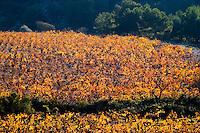 La Clape. Languedoc. Vine leaves. Vineyard. France. Europe.