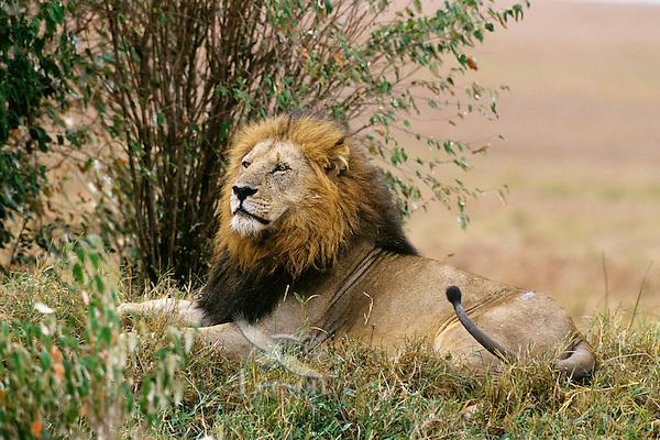 Male african lion (Panthera leo) resting, Masai Mara National Reserve, Kenya.