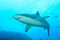 Carcharhinus galapagensis, Galapagoshai, Galapagos shark, Insel Cocos, Costa Rica, Pazifik, Pazifischer Ozean, Cocos Island, Costa Rica, Pacific Ocean