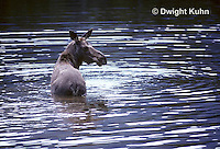 MS05-001a  Moose - cow (female) in Baxter State Park, Maine  - Alces alces