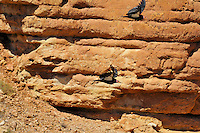 California Condors (Gymnogyps californianus) flying along canyon walls Marble Canyon (Colorado River), Grand Canyon National Park, Arizona.