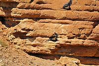 California Condors (Gymnogyps californianus) flying along canyon walls Marble Canyon (Colorado River), Grand Canyon National Park, Arizona.