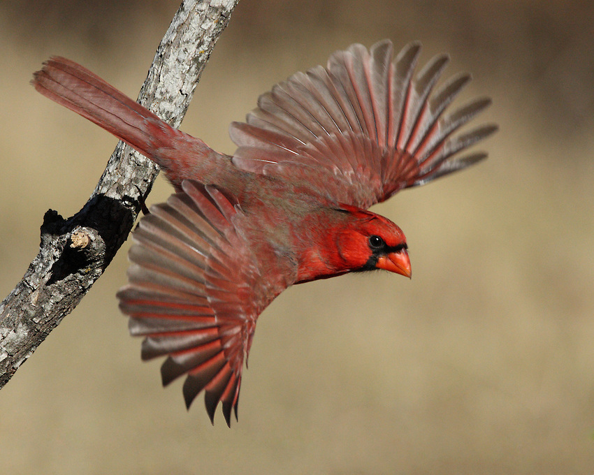 Northern Cardinal at take-off with full wing spread.