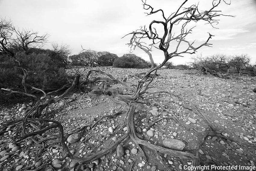 Mulga scrub in Mutawintji National Park, New South Wales