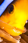 Orangefin Anemonefish, Amphiprion chrysopterus, chewing on its host anemone, Yap, Micronesia, Pacific Ocean