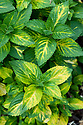 Apple mint (Mentha suaveolens 'Variegata'), mid May.
