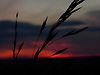 An evening walk in the Chilterns provided a beautiful sunset. This photo shows cornstalks silhouetted against the red sky.<br /> <br /> Stock Photo by Paddy Bergin