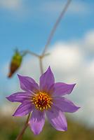 Dahlia merckii flower against blue sky